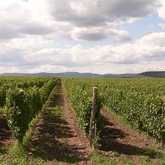 Szomolya: Vineyard nearby Eger with competitive varieties